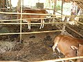 Sanitary livestock pen, Can Loc, Thanh Hoa, Vietnam 2010. Photo- AusAID (10720016173).jpg