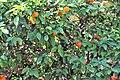 Sapindales - Citrus sinensis - 8.jpg
