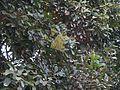 Sapindus emarginatus (8367327763).jpg