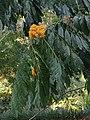 Saraca thaipingensis (8171353504).jpg