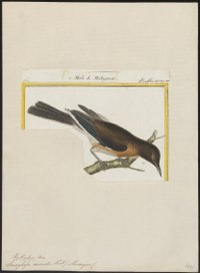 Saraglossa aurata - 1700-1880 - Print - Iconographia Zoologica - Special Collections University of Amsterdam - UBA01 IZ15800167.tif