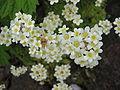 Saxifraga paniculata (Flowers).jpg