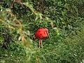 Scarlet Ibis (1).JPG