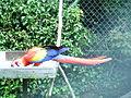 Scarlet macaw landscape.JPG