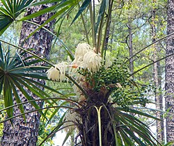 Schippia concolor palm flower CROP (7280078514).jpg