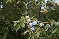 Schlehdorn (Prunus spinosa) Nationalpark Donau-Auen Orth an der Donau 2012 b.jpg