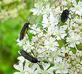 Sciara hemerobioides - Flickr - gailhampshire.jpg