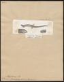 Scincus pannonicus - 1700-1880 - Print - Iconographia Zoologica - Special Collections University of Amsterdam - UBA01 IZ12600083.tif