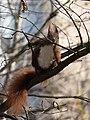 Sciurus vulgaris building a nest.jpg