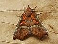 Scoliopteryx libatrix - The Herald - Совка зубчатокрылая (39054647270).jpg