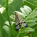 Scorpion Fly...female (16434139912).jpg