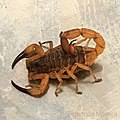 Scorpiones Moreira.jpg