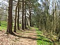 Scots Pines on woodland path near Barnsnap - geograph.org.uk - 1237114.jpg