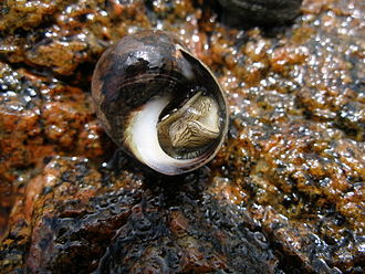 Common periwinkle - Periwinkle emerging from its shell, Sweden