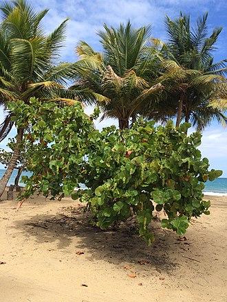 Yabucoa, Puerto Rico - Image: Seagrape (Coccoloba uvifera) shrub at Playa Lucia, Yabucoa, Puerto Rico