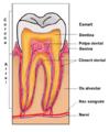 Seccio dent.png