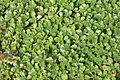 Sedum spurium leaves.jpg