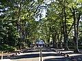 Seikei University Zelkova trees 1.jpg