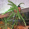 Selenicereus anthonyanus20140104 083.jpg