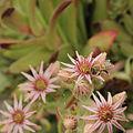 Sempervivum kindingeri-IMG 4195.jpg