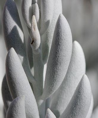 Senecio haworthii - Image: Senecio haworthii Felted leaves 2012 07 19 7536