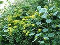 Senecio tamoides & Hibiscus tiliaceus, Umhlanga-strandmeer NR, a.jpg