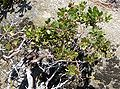 Sequoia National Park - Manzanita near Hanging Rock - closeup.JPG