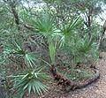 Serenoa repens (homeredwardprice) 001.jpg