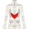 Serratus posterior inferior muscle back.png