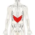 Serratus posterior inferior muscle back.png