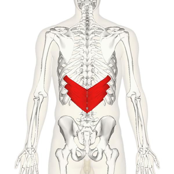File:Serratus posterior inferior muscle back.png ...