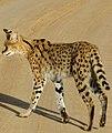Serval (Leptailurus serval) leaving the road ... (50680561326).jpg