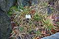 Sesleria albicans - Botanischer Garten, Dresden, Germany - DSC08693.JPG