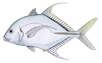 Shadow trevally.png