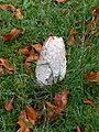Shaggy Ink Cap - geograph.org.uk - 609288.jpg