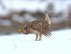Sharp-tailed Grouse (2).jpg