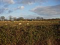 Sheep in an arable field - geograph.org.uk - 1082660.jpg