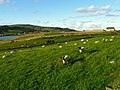 Sheep near Dunfanaghy - geograph.org.uk - 899548.jpg