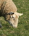 Sheeps Head.jpg