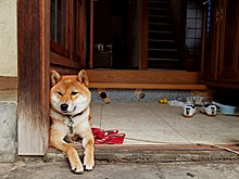 Shiba inu at the entrance of a house, -Japan 2010 a.jpg