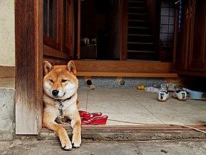 Shiba Inu - A Shiba Inu in Kagawa Prefecture, Japan