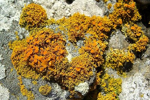 Shrubby Sunburst Lichen (982850549)