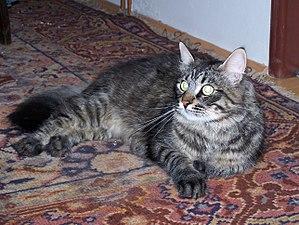 21103b14f1ba Γάτα - Βικιπαίδεια