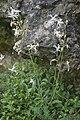 Silene nutans mont-des-veaux-cessieres 02 27052008 1.jpg