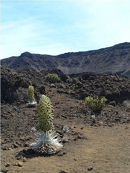 Silverswords on haleakala.JPG
