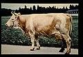 Simmental = 世界の牛 シンメンタール(雌) (35896557113).jpg