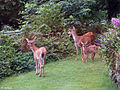 Sitka Black Tail Deer Family.jpg