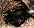 Skeleton Tarantula (Ephebopus murinus) in its hole ... (25668354647).jpg