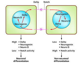 Developmental biology - The Notch-delta system in neurogenesis.(Slack Essential Dev Biol Fig 14.12a)