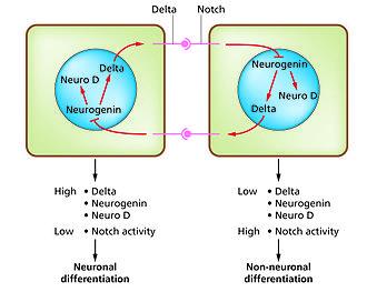 Developmental biology - The Notch-delta system in neurogenesis.(Slack Essential Dev Biol Fig 14.12a)